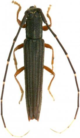Nyctonympha affinis