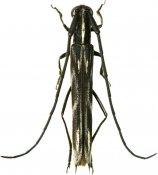 Aerenicopsis pugnatrix, Aerenicini, French Guiana