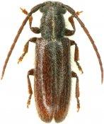 Anobrium fasciatum, Pteropliini, French Guiana