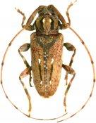 Baryssinus chemsaki, Acanthocinini, French Guiana