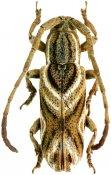 Bebelis parva, Apomecynini, French Guiana