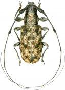 Caciomorpha buquetii, Anisocerini, French Guiana