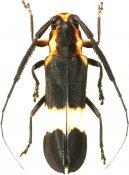Cacupira tucurui, Hemilophini, French Guiana
