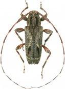 Carphina ligneola, Acanthocinini, French Guiana