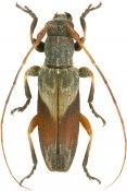 Curuapira exotica, Desmiphorini, French Guiana
