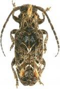 Desmiphora hirticollis, Desmiphorini, French Guiana