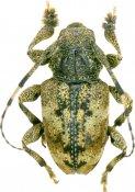 Eupromerella fuscicollis, Acanthoderini, French Guiana
