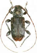 Exalphus spilonotus, Acanthoderini, French Guiana