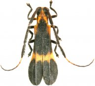 Iarucanga mimica, Hemilophini, French Guiana