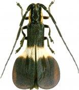 Icupima ampliata, Hemilophini, French Guiana