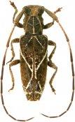 Ischnolea odettae, Desmiphorini, French Guiana