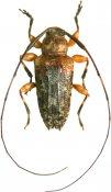 Nealcidion badium, Acanthocinini, French Guiana