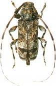 Neobaryssinus altissimus, Acanthocinini, French Guiana