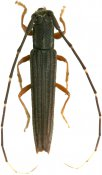 Nyctonympha affinis, Forsteriini, French Guiana