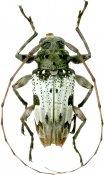 Acrocinini • Oreodera albicans