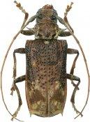 Polyrhaphis gracilis, Polyrhaphidini, French Guiana