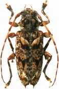 Aegomorphus longispinis, Acanthoderini, French Guiana