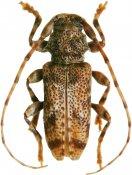 Punctozotroctes wappesi, Acanthoderini, French Guiana