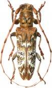 Rhaphiptera roppai, Pteropliini, French Guiana