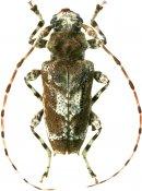 Spinozotroctes seraisorum, Acanthoderini, French Guiana