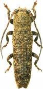 Typophaula melancholica, Apomecynini, French Guiana