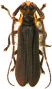 Tyrinthia scissifrons, Hemilophini, French Guiana