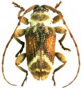 Xenofrea apicalis, Xenofreini, French Guiana