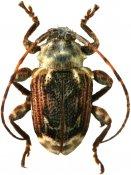 Xenofrea lineatipennis, Xenofreini, French Guiana