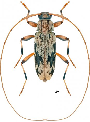 Lepturges  angulatus