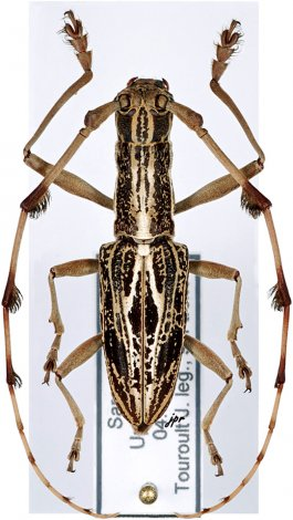 Psectrocera plumigera