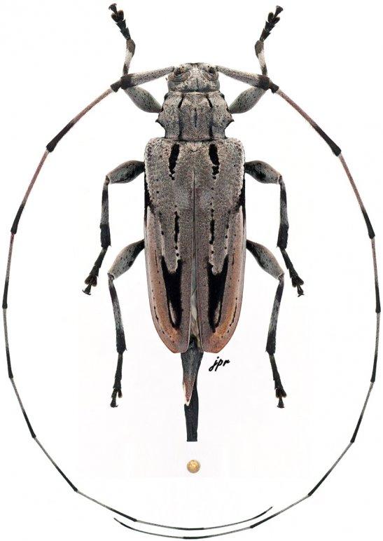 Acanthocinus nodosus