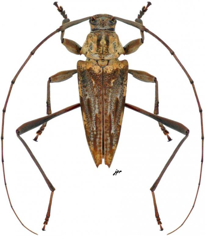 Anisopodus hamaticollis