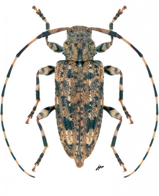 Astyleiopus variegatus