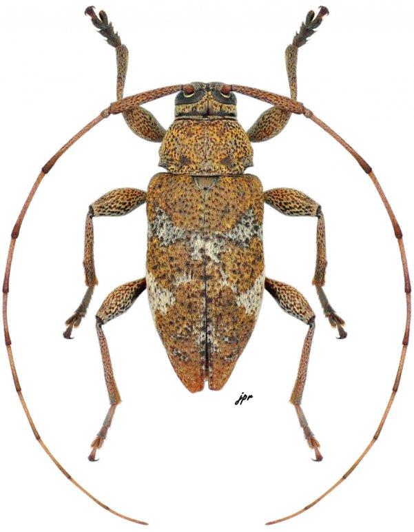 Atrypanius cretiger