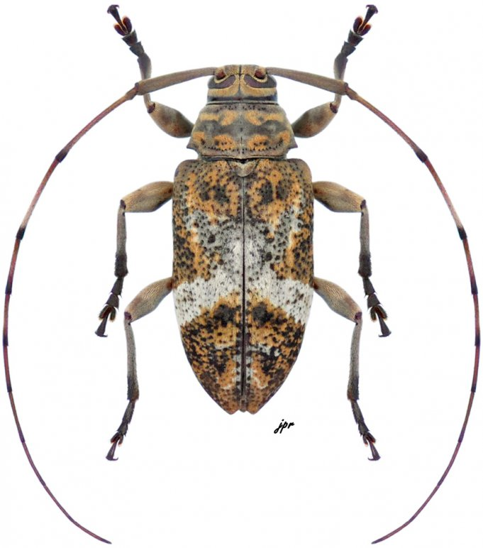 Atrypanius implexus