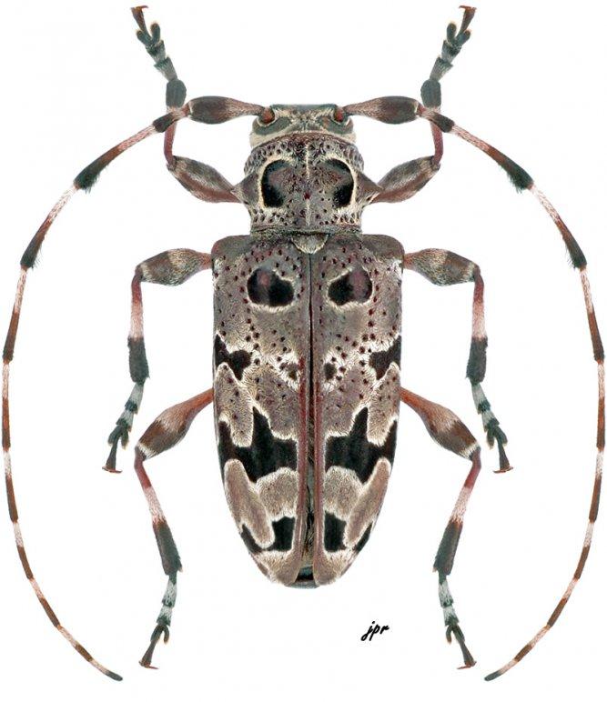 Azygocera picturata