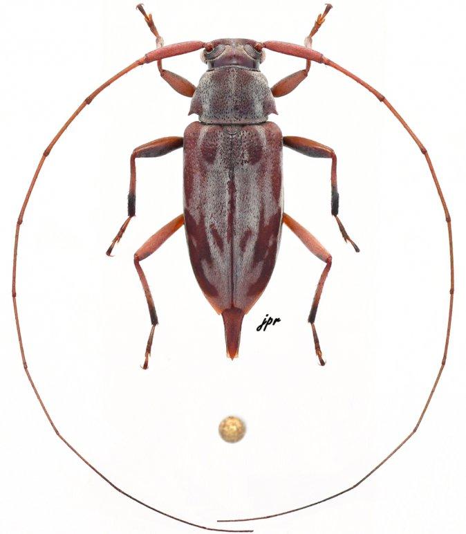 Eucharitolus dorcadioides