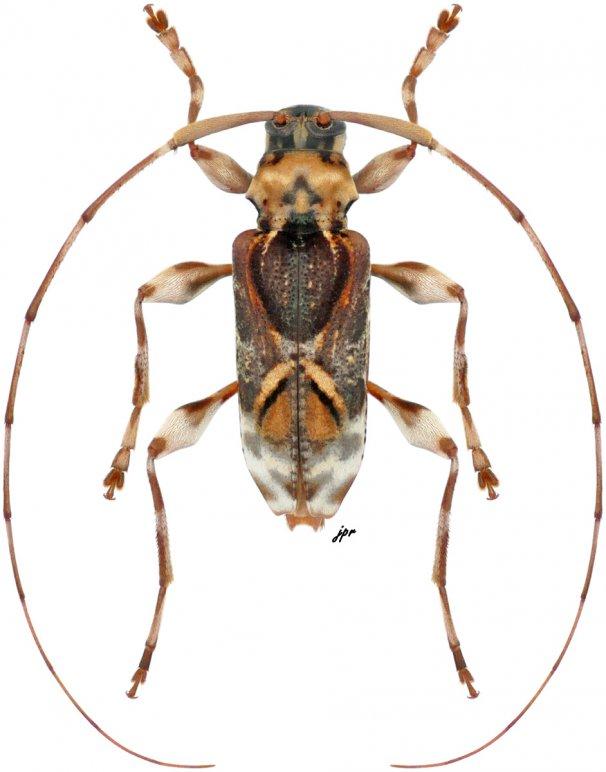 Eutrypanus mucoreus