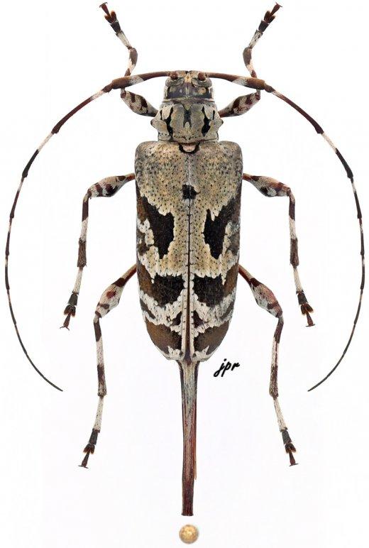 Granastyochus trifasciatus