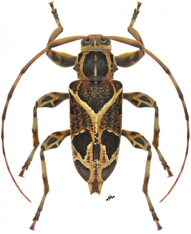 Graphisurus vexillaris