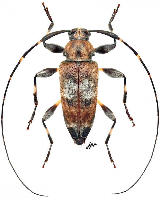 Jordanoleiopus africanus