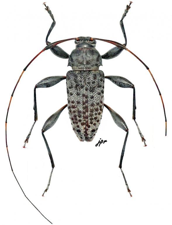 Jordanoleiopus multinigromaculatus