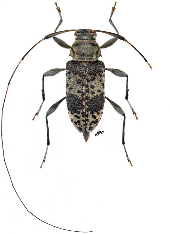 Jordanoleiopus paraphelis
