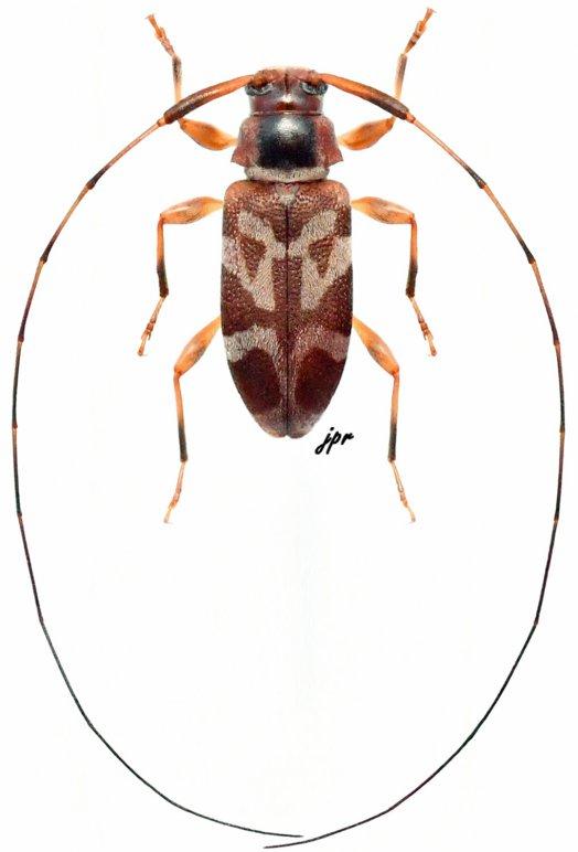 Jordanoleiopus rufotibialis