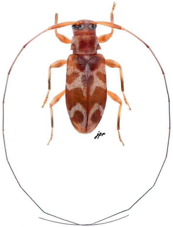 Jordanoleiopus (Polymitoleiopus)