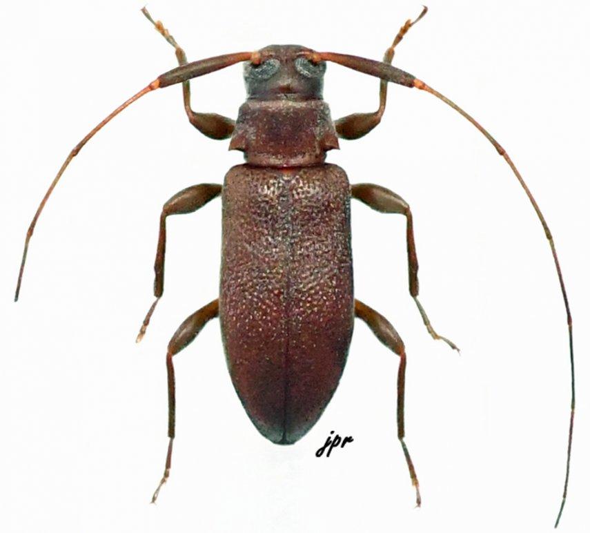 Jordanoleiopus unicolor