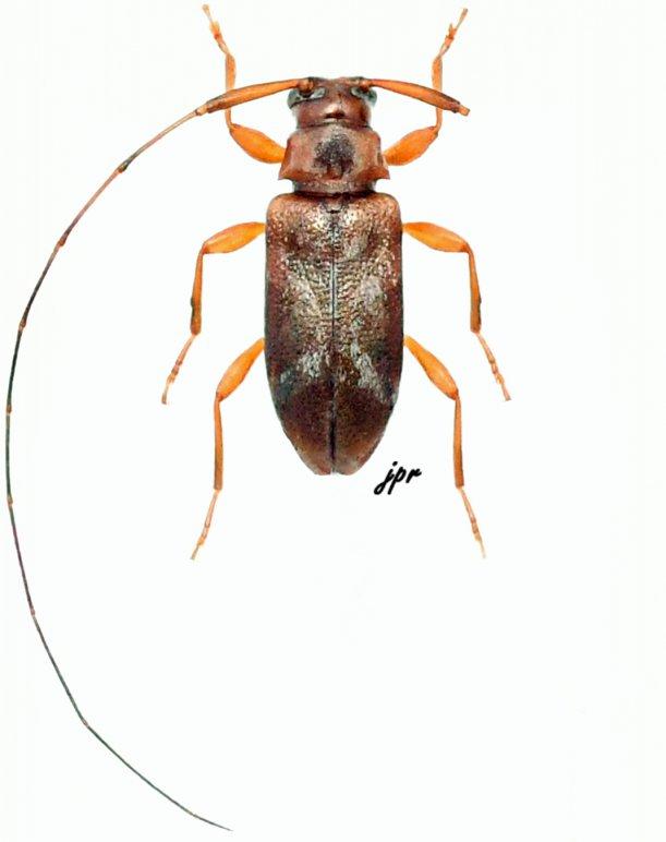 Jordanoleiopus rubrofemoralis