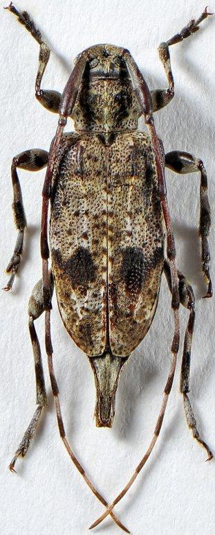 Leiopus nigrofasciculosus