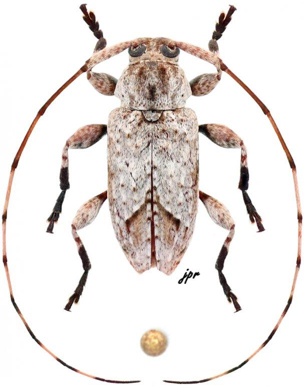 Leptostylus cretatellus