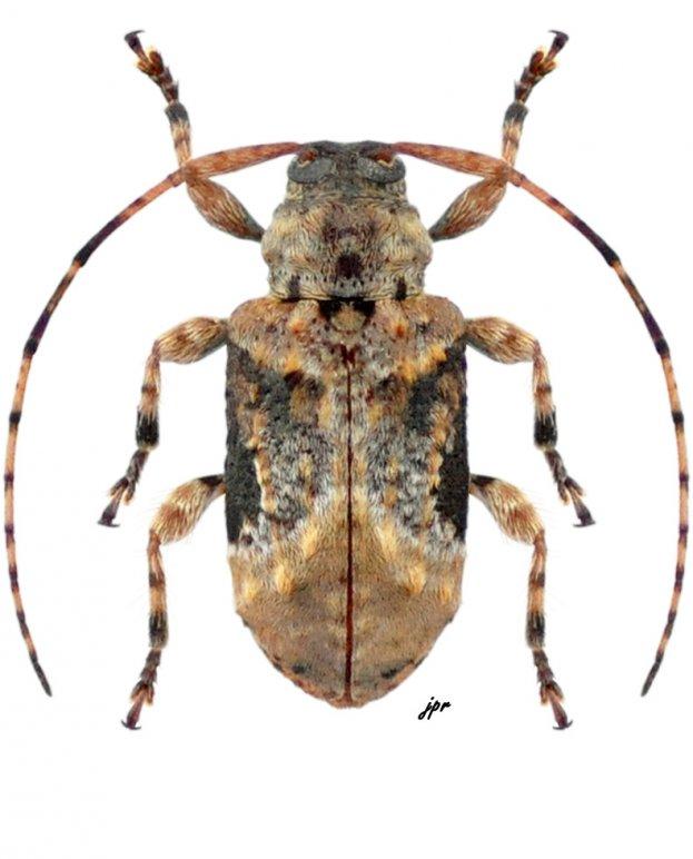 Leptostylus laevicauda laevicauda from Nicaragua